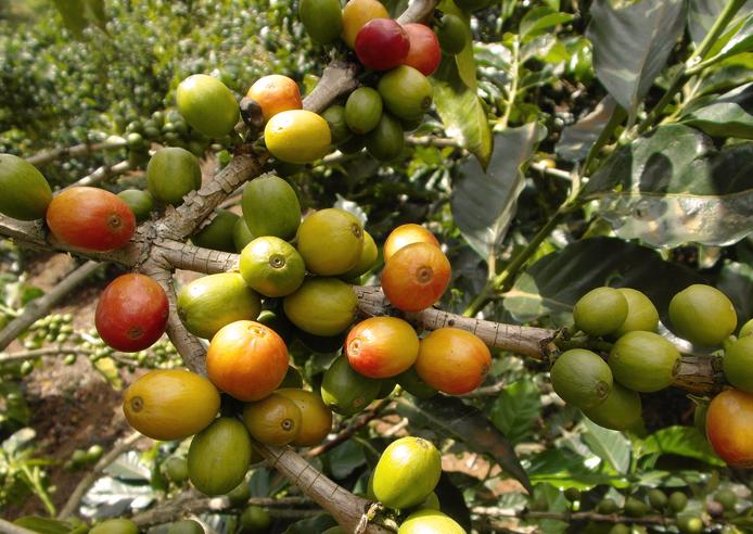 Kaffeekirschen am Ast, verschiedene Reifegrade
