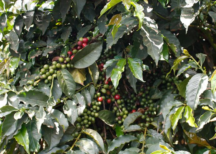 Reife und unreife Kirschen am Baum