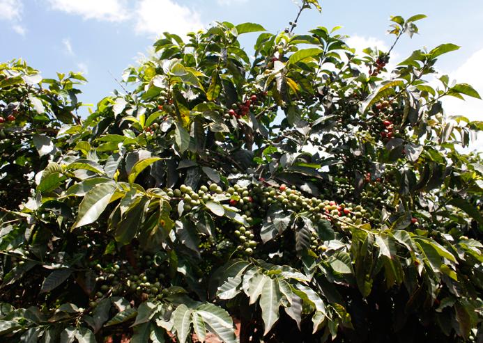 Ein Arabica Kaffee Baum