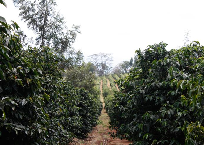 Kaffeeplantage Kenia