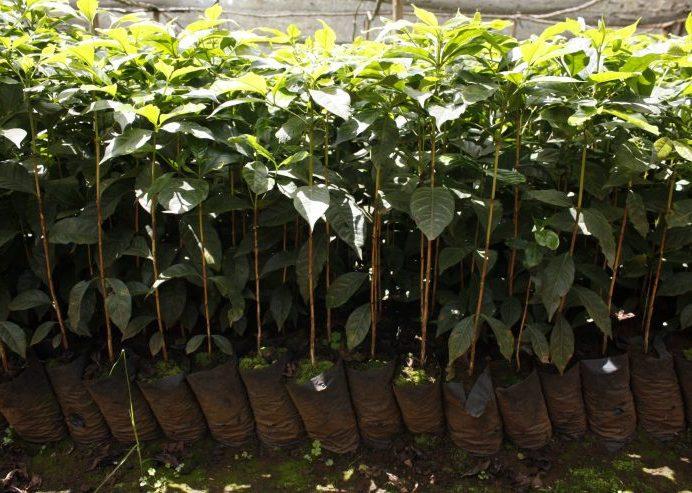 Setzlinge an welchen bis zu 30 Jahre tolle Kaffeekirschen wachsen
