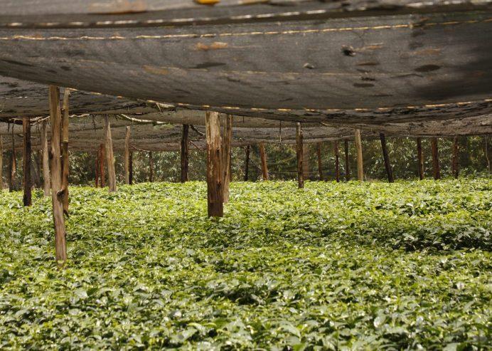 Baumschule mit Kaffeepflanzen